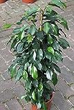 Plante d'intérieur - Plante pour la maison ou le bureau - Ficus benjamina - Figuier pleureur panaché, hauteur environ 80cm - PRIX EN BAISSE