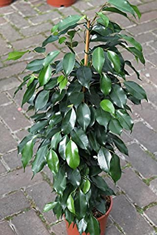 Indoor Plant -House or Office Plant -Ficus Benjamina- Green Weeping Fig 60cms Tall- NOW REDUCED