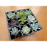Echeveria Plants - A Collection of 9 plants 9 different named varieties