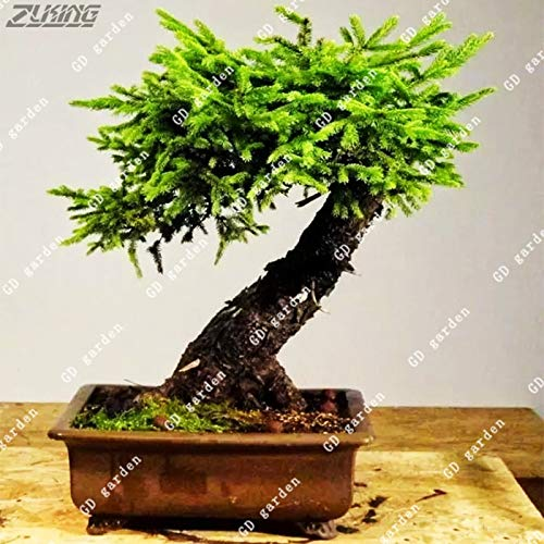Go Garden Zlking 100 Stücke Fichte Chinesische Gartenarbeit Sementes Immergrüne Picea Indoor Bonsai Baum Gartenarbeit Dekorationen Ornamente