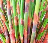 Cannomois grandis - Restio - 10 graines