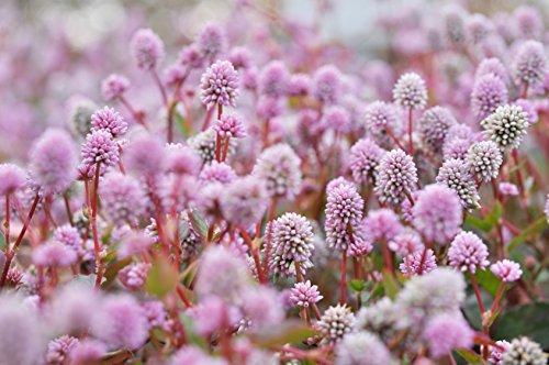Himalaya-Knöterich Polygonum capitatum (Persicaria capitata) 50 Samen