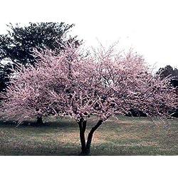 Kirschpflaume ** Prunus cerasifera ** (10 Stück Kirschpflaume Str. v. 3Tr. 60-100 cm )