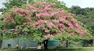 Mallkerala Rare Cassia Nodosa Pink Shower or Pink Cassia Tree - 25 Seeds