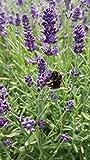 unsere-gaertnerei Pflanze, Lavendel in verschiedenen Varianten, 12 Stück, grün, 30x20x20 cm, 59-907x12