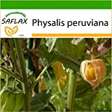 SAFLAX - Alchechengio peruviano - 100 semi - Con substrato - Physalis peruviana