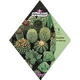 Royal Fleur - Semilla cactus mecla (cacteas) 3cor