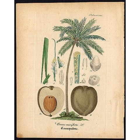 diseño de madera envejecida Botanical arma de juguete - coconut-cocos nucifera-Artus-Kirchner-1848