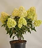 Rispenhortensie Hydrangea paniculata Silver Dollar ® 40-60 cm im 5 Liter Pflanzcontainer