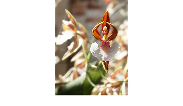 Naked Man 10x Seeds uk Orchid Italica