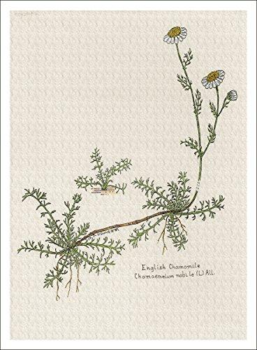 Arthouse Botanical Illustration der englischen Kamille, Giclée, 17,8x 24,1cm - Daisy Bouquet Wand