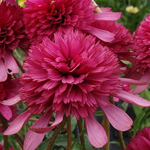 lichtnelke - Sonnenhut (Echinacea) Southern Belle -