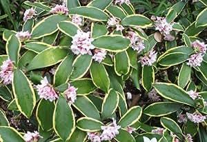 Daphne odora 'Aureomarginata 23cm Pot Size