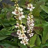 lichtnelke - Königskerze (Verbascum chaixii WEDDING CANDLES)