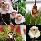 100pcs Seltene Orchideen-Samen japanische Affe-Gesichts-Orchideen-Blumensamen Garten Bonsai Topfpflanzen Zierbonsaipflanzen