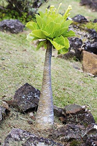 Palmenmann Hawaii-Palme (Vulkanpalme) - Brighamia insignis