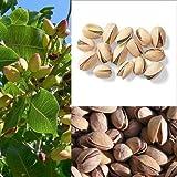 Portal Cool Nueces de Ãrbol Pistachos Semillas Semillas de árboles frutales Pistacia Rara Planta tropical tuerca de semillas