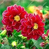 Semilla del jardín de Mary Flower, mini dalia Bonsai Flor plantas en maceta, el crecimiento natural, multi color de la flor de importación italiana 100 piezas 1