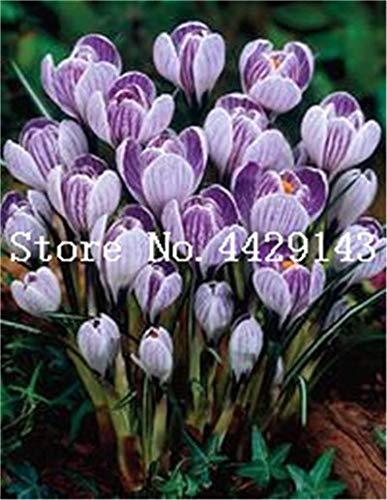 prime vista 100 teile/beutel Viele sorten Safran Bonsai Safran Blume Safran Crocus bonsai pflanze für haus und garten: 10