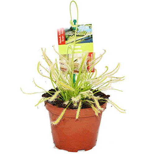 Fleischfressende Pflanze - Drosera capensis alba - der weiße Kap Sonnentau - 8 bis 12cm!
