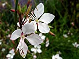 Gaura lindheimeri Corrie Gold Herbaceous Perennials Plants in 9cm and 13cm Pots