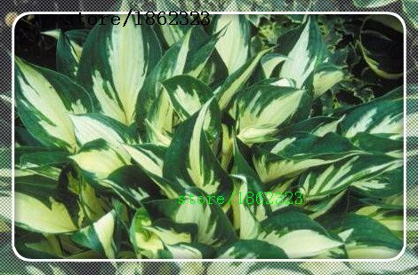 2016 Sementes Fleur Graines 50pcs Hosta Seeds Fire And Shade Ice Vivaces Plantain Fleur Bonsai jardin plan Couvre-sol