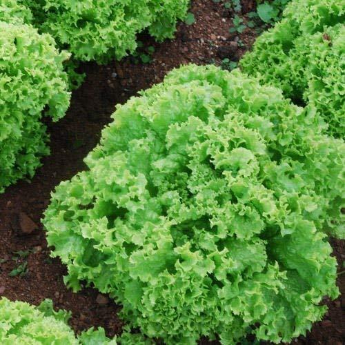 Seekay Salat Lollo Bionda Ca. 300 Samen - 800 seeds