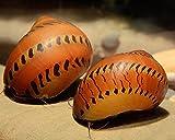 Rennschnecke Orange Track - Neritinia sp. - 5er Gruppe