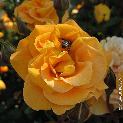 Beetrose'Westzeit' - apricotfarben blühende ADR-Topfrose im 6 L Topf - frisch aus der Gärtnerei - Pflanzen-Kölle Gartenrose