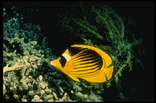 307026 Racoon Butterfly Fish On Soft Gray Coral A4 Photo Poster Print 10x8 - Racoon Butterfly Fish