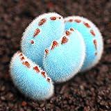 Caliente-venta! 200pcs Promoción / bolsa raras mini azul Lithops semillas semillas suculentas semillas de flores Culo Piedra
