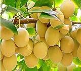 #7: Nema Organic Ginkgo Biloba Fruit Seeds - 5 Pcs