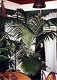 AGROBITS Archontophoenix cunninghamiana - ngalow Palm - 10 See