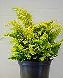 Hinoki Scheinzypresse Chamaecyparis obtusa Fernspray Gold 20-25 cm hoch im 2 Liter Topf
