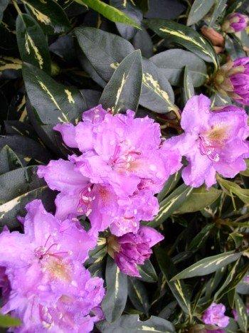 Rhododendron Goldflimmer INKARHO 30-40 cm hoch im 5 Liter Pflanzcontainer