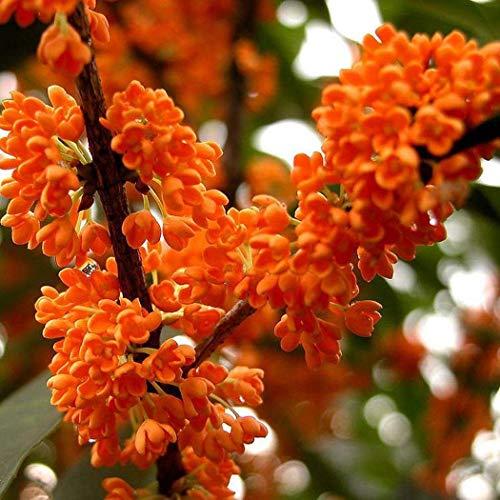 MEIGUISHA Gartensamen - Duftblüte Osmanthus Samen duftende Fragrans Baum Samen Strauch Pflanzen Saatgut chinesischen Duft Dan Gui winterhart mehrjährig für Garten (Orange,10)