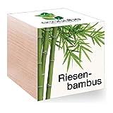 Feel Green Feel Green EcoCube Riesenbambus, Pflanze mit Samen aus ökologischer Edel-Holzbox als Geschenk für Zuhause, Einweihungsgeschenk für Frauen und Männer, Geschenkidee