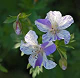 Hardy Geranium 'Splish Splash' meadow cranesbill