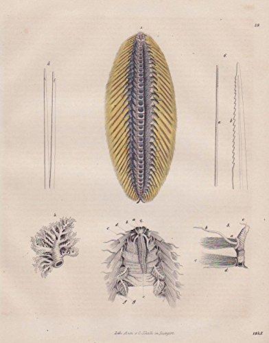 Buschwurm Amphinom Amphibie Tier Tiere animals Original Lithographie