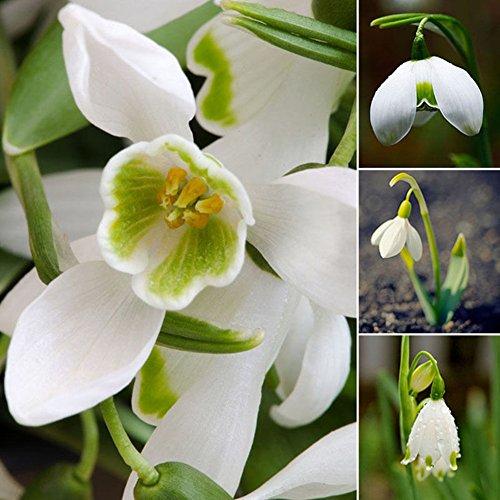 lamta1k 200 Piezas campanillas de Nieve Calidad de semilla de Galanthus y Altas tasas de Supervivencia Bulbos de Oto?o Cultivo de jardineršªa Flor de Primavera
