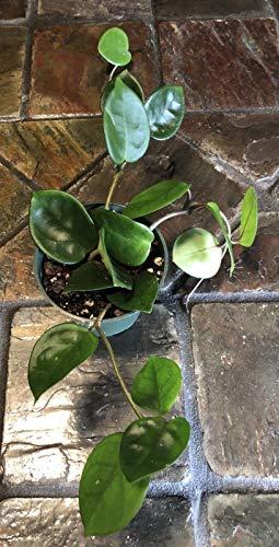 sconosciuto hoya carnosa chelsea, ben radicata piante più 4#, nave in 4 pot!