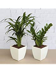 Ugaoo Air Purifier Indoor Plants For Home Areca Palm ZZ P