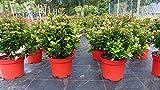 Stechpalme Ilex meserveae Formgehölz Bonsai Kugel Hecke Heckenpflanze Palme Test