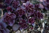 Shoopy Star 3 ml: 🌹 Keiki Paste Vorlage - Pflanzen Klonen Hormon mit Cytokinin und Thiamin