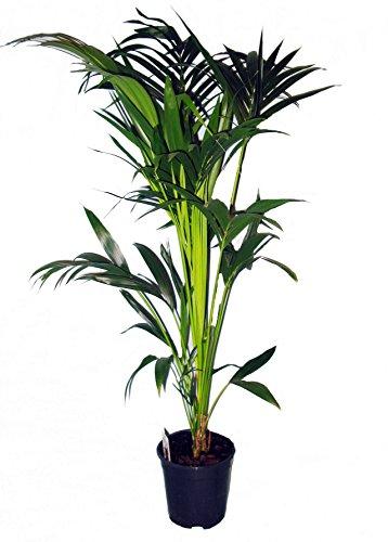 Kentia-Palme ca.60-80cm hoch, 1 Pflanze