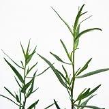Bio Französischer Estragon Kräuterpflanze