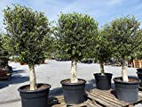 Olivenbaum 180-200 cm, 45 Jahre alt, 30-35 cm Stammumfang, winterharte Olive