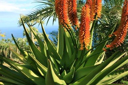Aloe aborescens Baumaloe Tintenfischaloe 5 Samen