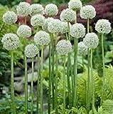 30pcs / bag Riesenlauch (Allium giganteum) Samen Seltene Blume Bonsai schöne Blumentopfpflanzen Schokolade frei Hausgarten Verschiffen