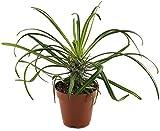 seltene Pachypodium geayi - ein Bruder der Madagaskarpalme - pflegeleichte Sukkulente/Zimmerpflanze -